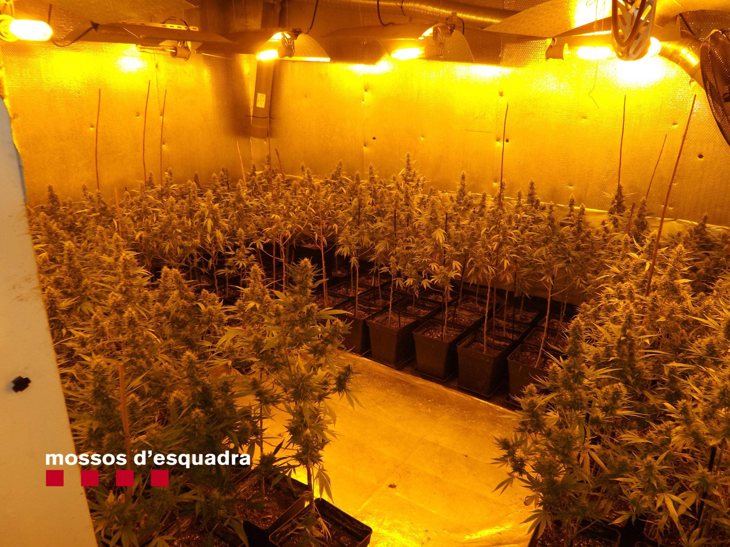Plantació marihuana Premià de Dalt
