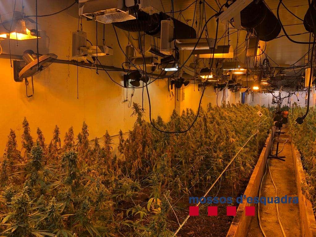 Plantació de marihuana a Vilassar de Dalt