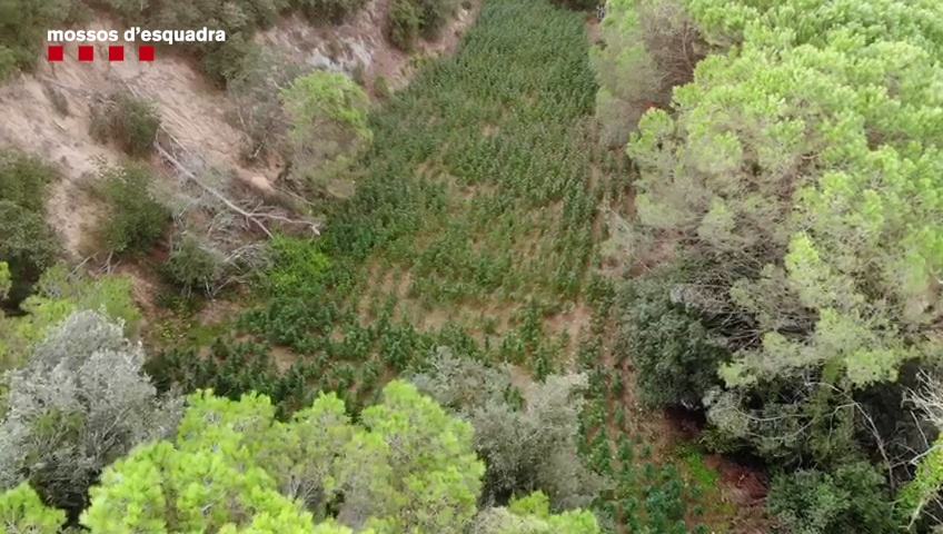Plantació de marihuana a Sant Iscle de Vallalta