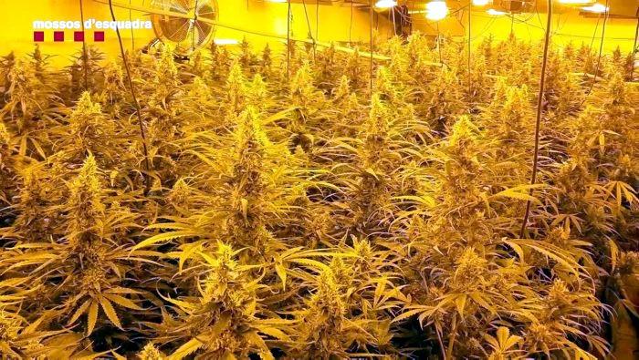 Una de les plantacions de marihuana del grup criminal desmantellat pels Mossos