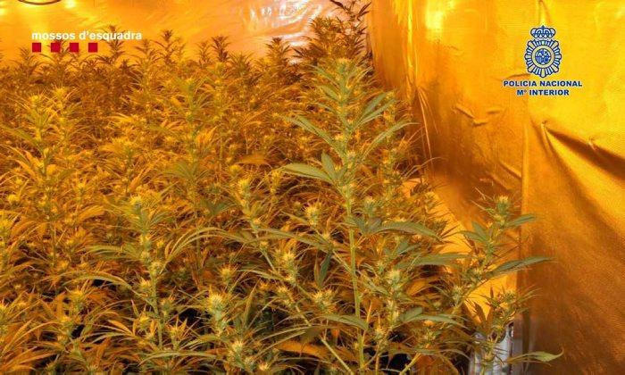 Plantació de marihuana desmantellada a Lloret de Mar. Foto: CME-PN