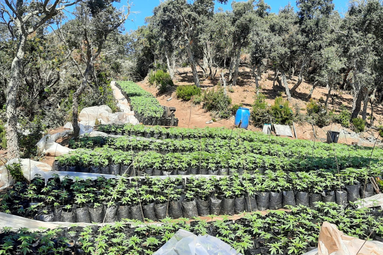 Plantació de marihuana a Vidreres