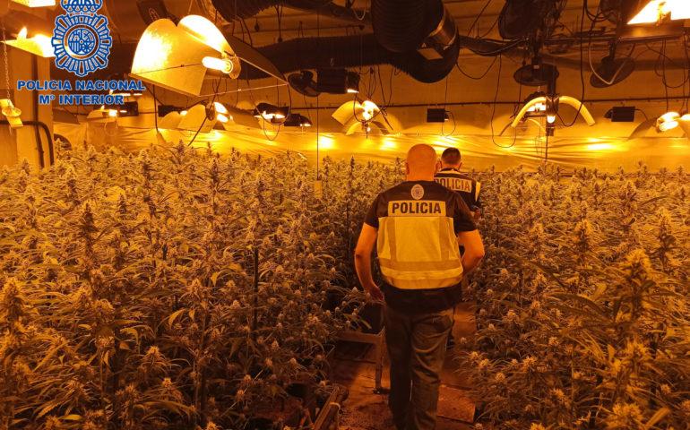 Plantació de marihuana al Maresme