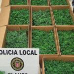 Enxampen a Blanes un conductor amb un miler d'esqueixos de plantes de marihuana